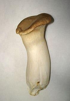 Photo - pleurotus eryngii